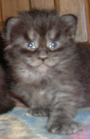 Black Smoke Maine Coon Kitten Fonzie 3 wks